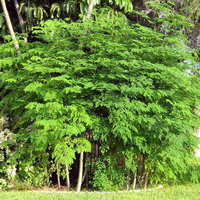 August_2011_Moringa_Trees_front_of_house_004