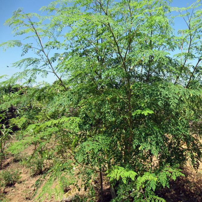Moringa-Tree-1024x768