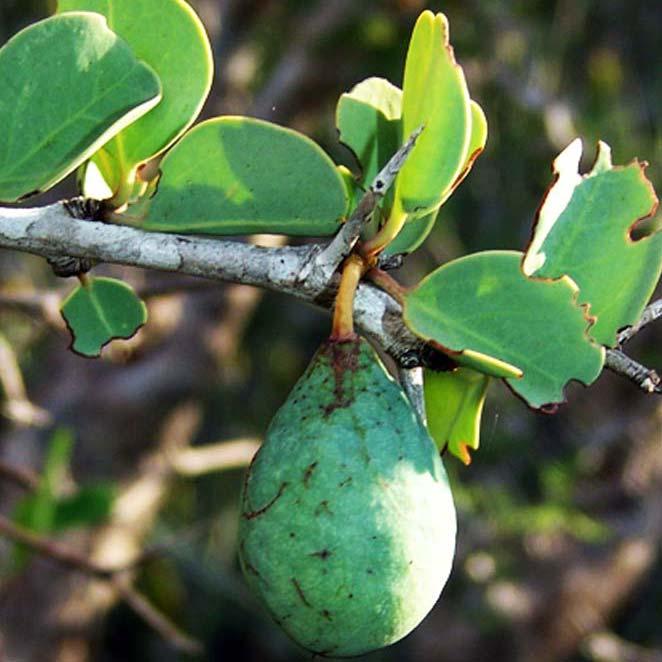 baobab-oil-2