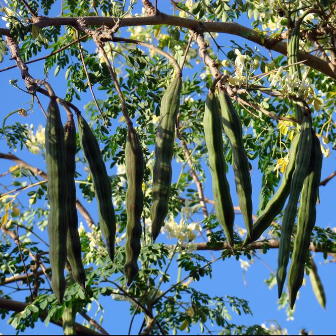 gousse-moringa
