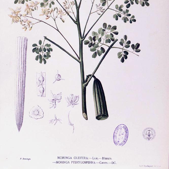 moringa-oleifera-planche