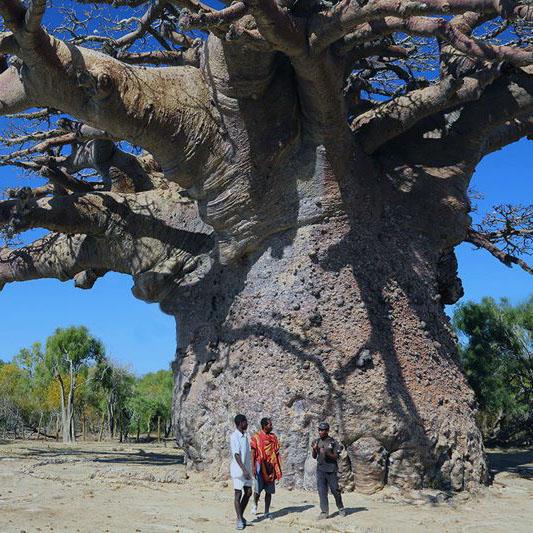 plus-gros_baobab_mada