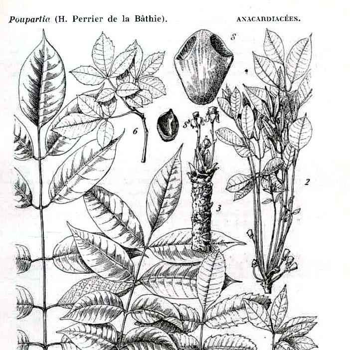 Planche Sclerocarya Birrea