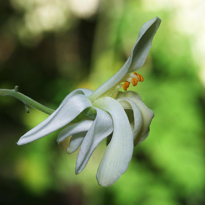 fleur-moringa