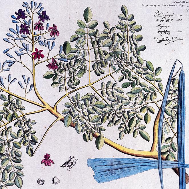 V0042647 Horse-radish tree (Moringa oleifera Lam.): branch with flowe