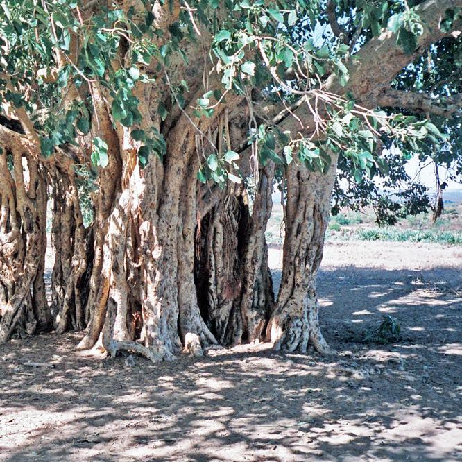 92.05.16 Ficus grevei Onilahy valley nr Betalampy