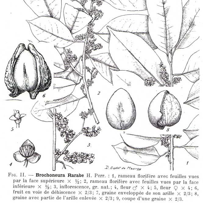 Brochoneura-Rarabe-planche-carre-web