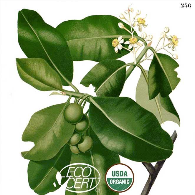 Calophyllum_inophyllum_Blanco-ecocert