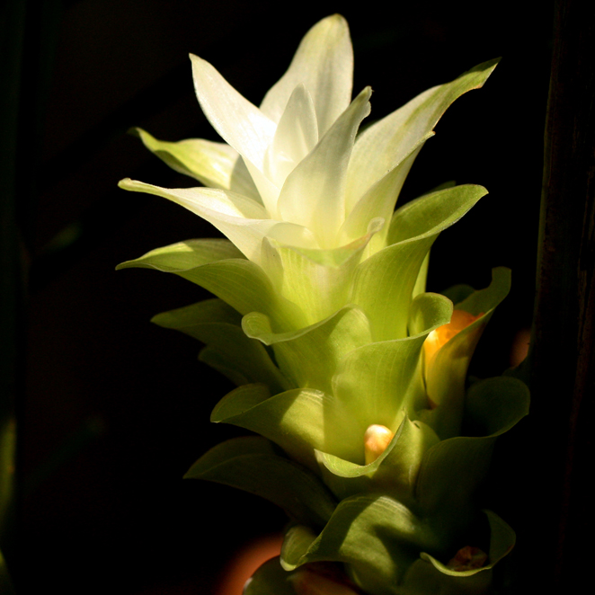 Turmeric_Flower_Maharashtra_India