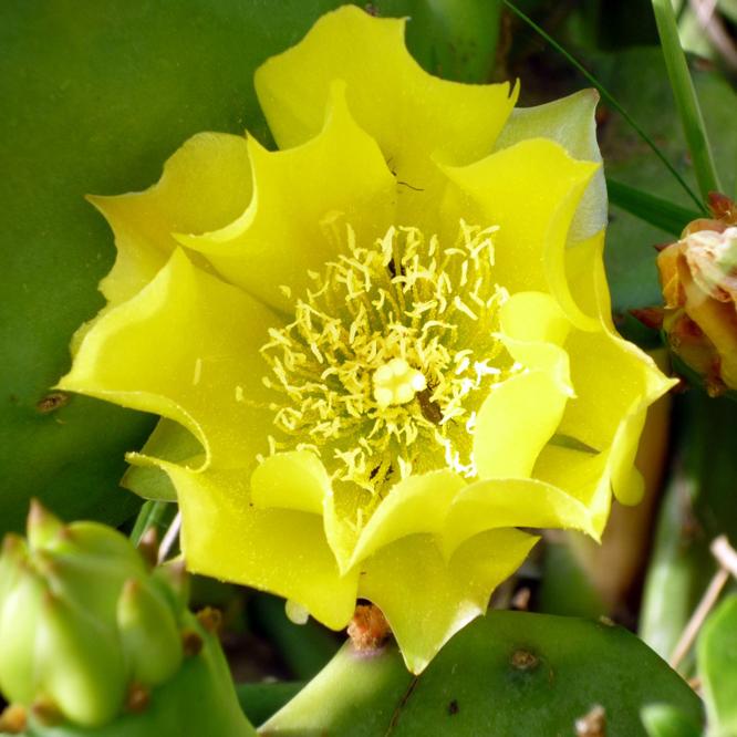 fleur-de-plante-grasse-visoflora-12808